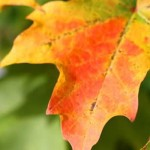 fall_leaves-300x300