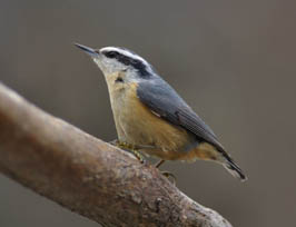 Nuthatch photo by Jesse Pope
