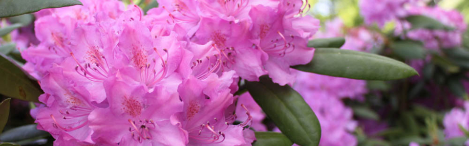 rhododendron blooms in downtown Blowing Rock