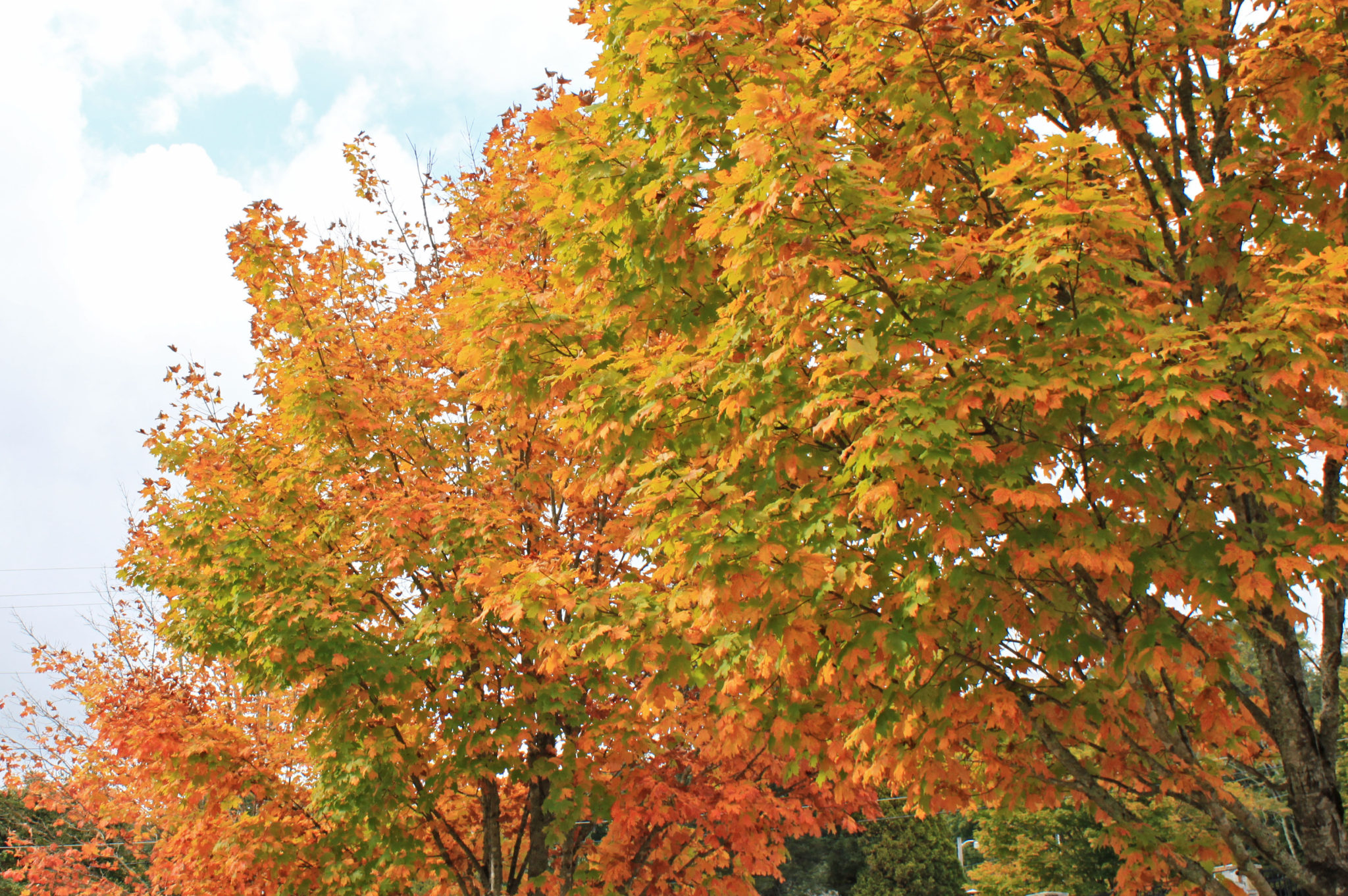 autumn maples with fall foliage in Blowing Rock
