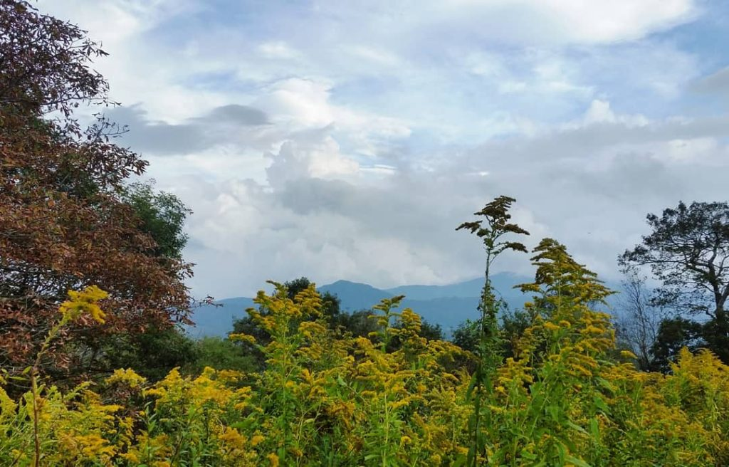 Goldenrod on Beech Mountain