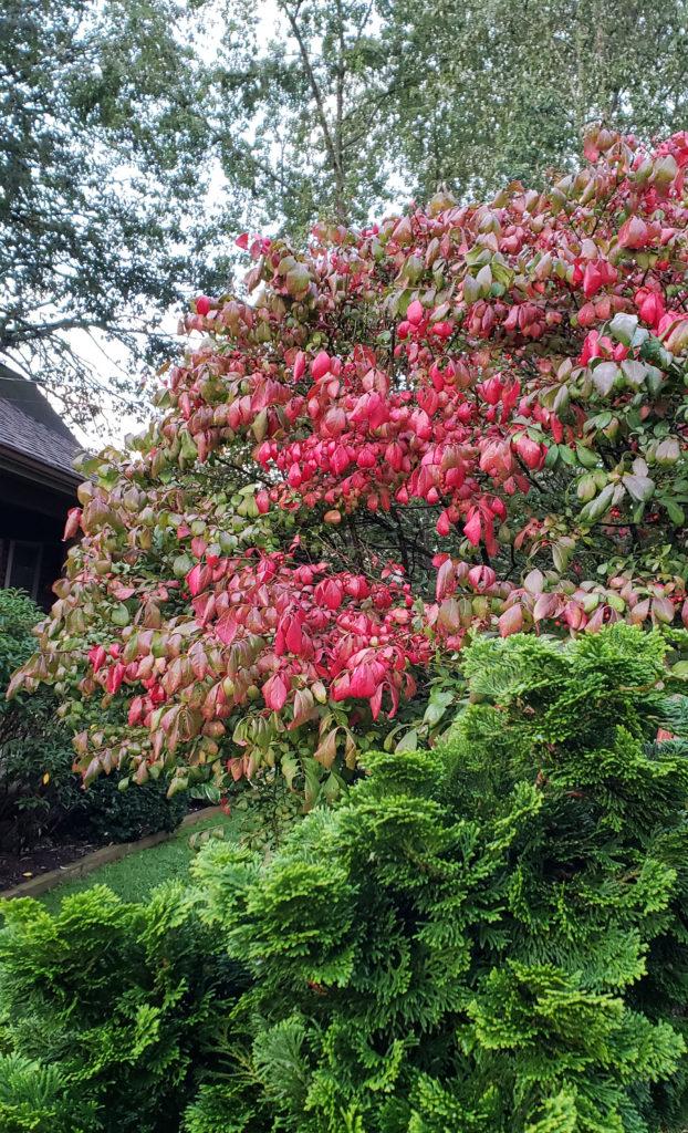 Vibrant red on a burning bush shrub