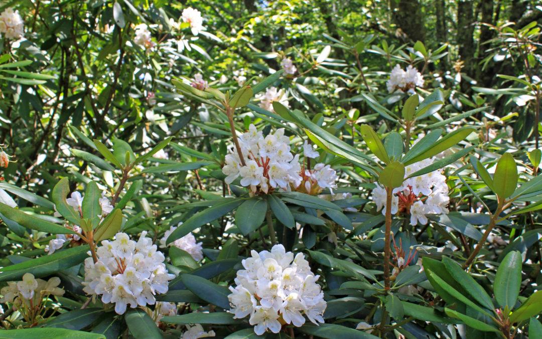 Rosebay Rhododendron Bloom Update