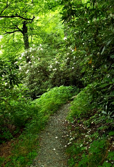 rhododendrons on green knob trail