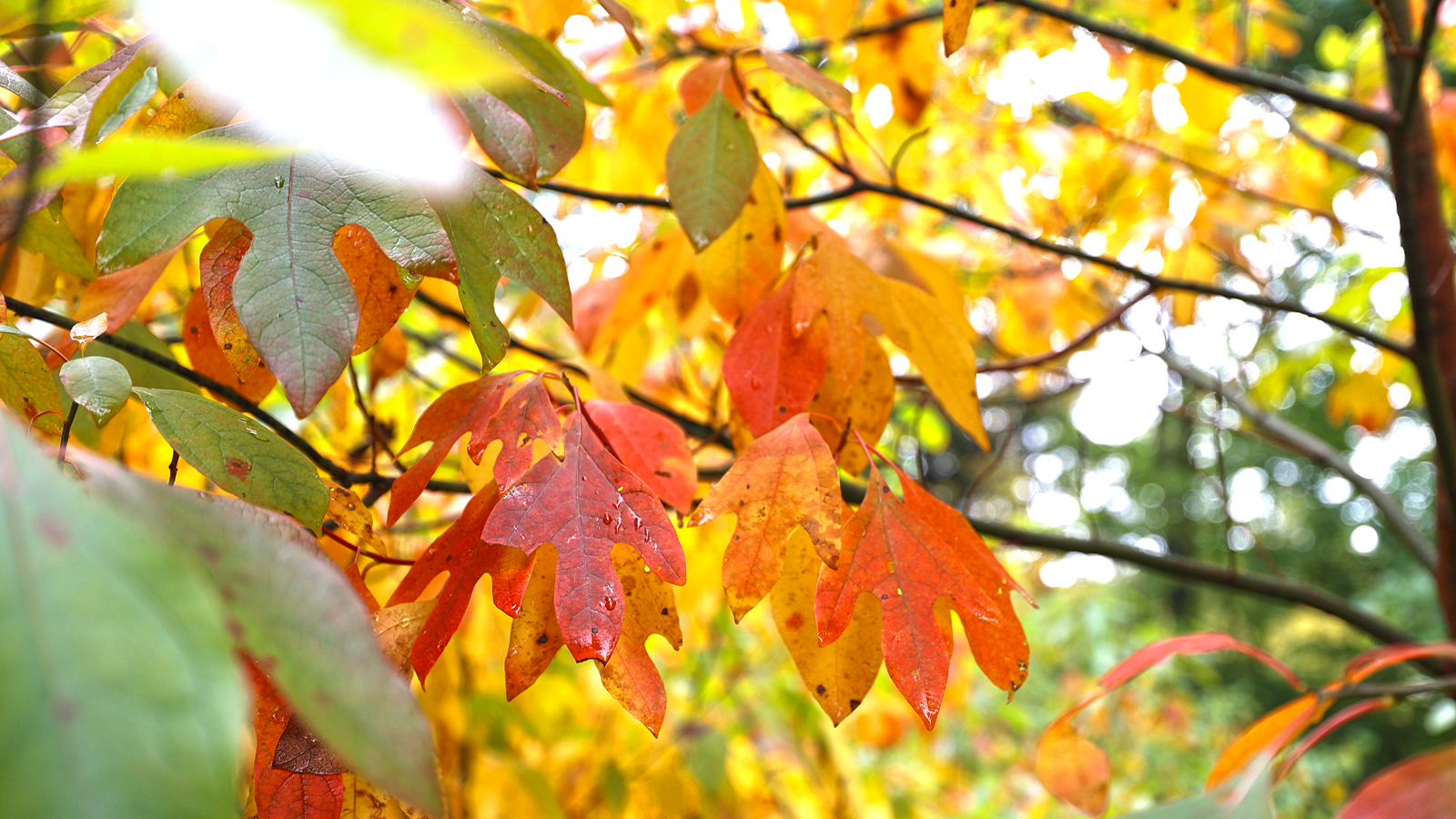 sassafras leaves with autumn color